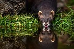 Polecat (andy_harris62) Tags: polecat wildlife nikond850 nikon animal mammal water reflection nikkor300mmf28 nature naturephotography