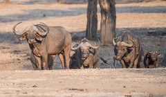 Oh, where did you come from? (Tris Enticknap) Tags: africa lowerzambezi zambia capebuffalo synceruscaffer