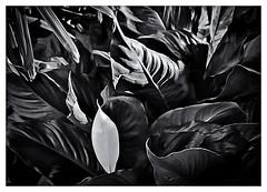 Pentax Auto 110 (1978) (Black and White Fine Art) Tags: pentaxauto1101978 pentax11024mmf28 pentaxmini pentax 110format formato110 smallformat formatopequeño sanjuan oldsanjuan viejosanjuan puertorico bn bw aristaedu100 16mm 110filmcartridge niksilverefexpro2 lightroom3 hojas leaves