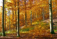 Herbstlicher Rotbuchenwald (anubishubi) Tags: lumixtz5 wald forest herbst autumn buchenwald herbstwald hessen lahndillkreis solms germany