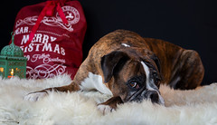 Boxer (Fabi's Photography) Tags: boxer chien dog