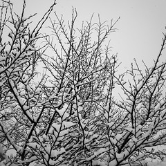 Snow 3 (justingreen19) Tags: england ricoh ricohgrii seasons suffolk branches cold contrast freshsnow justingreen19 mono snow square treebranches trees urban urbanabstract weather white winter