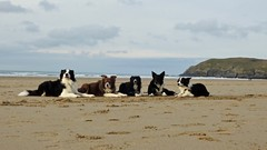 Collies on the Beach (LouisaHocking) Tags: perranporth cornwall dogs pets collies bordercollie collie beach sea seaside