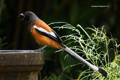 IMG_3762 Rufous Treepie (Dendrocitta vagabunda) (vlupadya) Tags: greatnature animal bird aves fauna indianbirds rufous treepie dendrocitta kundapura karnataka