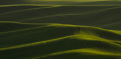 wheat waves (Brian.Schick) Tags: palouse wheat washington rolling hills green sunrise steptoe butte