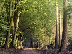 Morningwalk (Jenne Barneveld) Tags: morningwalk forest walking veluwe speulderbos trees tree autumn autumncolors autumnleaves autumntree october woods netherlands