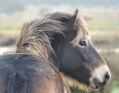 Exmoor Pony - Druridge Ponds - New Year's Day 2019 (Gilli8888) Tags: p900 nikon coolpix druridge druridgeponds nature northumberland pony horse exmoorpony newyearsday2019 equine mane wetlands explore