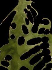2018.10.07 Looming (Digital Study for black background) (Julia L. Kay) Tags: shadow shadows silhouette juliakay julialkay julia kay artist artista artiste künstler art kunst peinture dessin arte woman female sanfrancisco san francisco daily everyday 365 botanical botany plant foliage splitleaf philodendron splitleafphilodendron sundances molten lava moltenlava ink paper colored brush acrylic acrylics acrylicpaint paint painting canvas panel