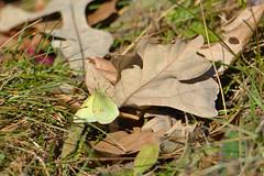 Clouded Sulphur, Minnesota, Sherburne County, Sherburne National Wildlife Refuge (EC Leatherberry) Tags: sherburnecounty sherburnenationalwildliferefuge nationalwildliferefuge usfishandwildlifeservice butterfly cloudedsulphur