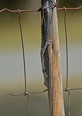 Texas spiny lizard (justkim1106) Tags: lizard reptail texasreptile texaswildlife texasspinylizard nature wildlife fencepost fence lines animal