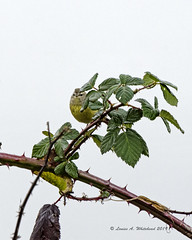010519 East Bay Bird 2 (wildcatlou) Tags: winter olympia bird songbird nature wildlife january warbler orangecrownedwarbler