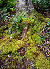 Mossy Fern (Panorama Paul) Tags: paulbruinsphotography wwwpaulbruinscoza southafrica southerncape gardenroute knysnaforest indigenousforests fern moss tree nikond800 nikkorlenses nikfilters