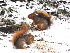 Snowy squirrels snacking (EcoSnake) Tags: squirrels eating snacking easternfoxsquirrel rodents december winter idahofishandgame naturecenter