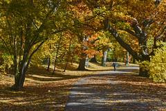 The Riverway in Fall, Boston (2538) (mamieli2016) Tags: autumnmorning autumncolors boston theriverwaypark fallcolors fall autumn trees