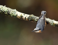 Sittelle torchepot (guiguid45) Tags: nature sauvage oiseaux bird passereaux forêt bois loiret d810 500mmf4 nikon sittelletorchepot sittidés sittaeuropaea eurasiannuthatch affût