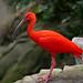 scarlet ibis 3