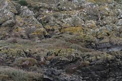 IMG_0660 (fields john) Tags: short eared owl dublin ireland january winter
