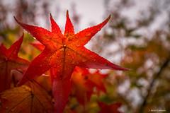 A la desesperada (AvideCai) Tags: avidecai canon1635 hojas otoño lluvia parque