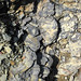 New Providence Shale (Borden Formation, Lower Mississippian; MacDonald Knob Outcrop, Bullitt County, Kentucky, USA) 10
