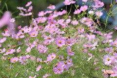 Garden Cosmos flower garden (Nagarjun) Tags: pelling sikkim northeastindia greenery nature village walk ruralindia nepali
