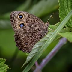 Safe Space (Portraying Life, LLC) Tags: michigan unitedstates k1 da3004 hd14tc handheld closecrop pentax ricoh nativelighting meadow butterfly