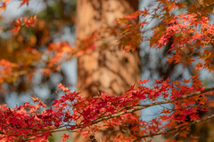 Red Leaves (Kentaro Takahira) Tags: kyoto temple autumn leaves japan