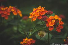 Texas Lantana (Kumaravel) Tags: lr yercaud closeup flower leaf kumaravel dof leaves flora lantanaurticoides india waterdroplet blossom leafveins green crop kumar cobweb nature