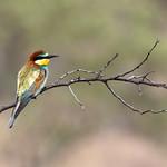 European Bee-eater (Merops apiaster) thumbnail