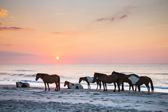 Horses in the beach by Nathaniel Gonzales (Maryland DNR) Tags: 2018 photocontest wildlife mammals ponies horses assateague shore ocean beach sunset