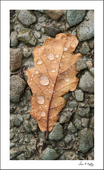 Leaf with Droplets (Simon Caplan) Tags: landscape englishlandscape lakedistrict cumbria rydalwater woodland forest trees oak oakleaf droplets detail foundstilllife nature autumn autumncolours