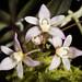 [Taiwan] Thrixspermum saruwatarii (Hayata) Schltr., Repert. Spec. Nov. Regni Veg. Beih. 4: 275 (1919)