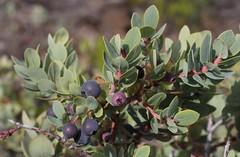 Vaccinium reticulatum blue fruit (J. B. Friday) Tags: hawaiivolcanoesnationalpark maunaloa vaccinium vacciniumreticulatum ericaceae nativehawaiianplants hawaiiannativeplants