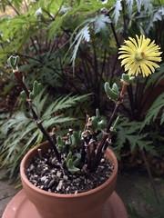 First flower on Mitrophyllum dissitum. Took 8 years.