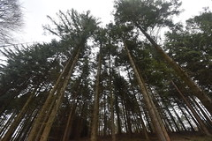 Up the Pines (PLawston) Tags: uk great britain england west sussex border path south downs park national durford wood pine trees