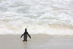 South Africa 2019 (Giorgio Montersino) Tags: boulder beach penguin southafrica sudafrica sa travel trip africa