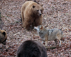 brown bear and Europaen wolf Ouwehands 094A0561 (j.a.kok) Tags: bear beer bruinebeer brownbear europe europa europeanwolf europesewolf wolf animal ouwehands mammal zoogdier dier predator