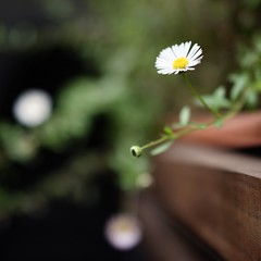 Life without purpose.... (RS PhotoArt) Tags: chile santiago barrioitalia zen mindfulness 35mm sonnar zeiss carl rx1 sony daisies daisy plants garden flowers bokeh square