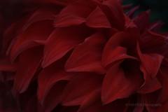 Petals of Red Dahlia (_TAKATEN_) Tags: sigma sd quattro foveon sdq flower dahlia macro 70mm kamisori