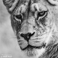 Wilde Life (kikevist thierry) Tags: animal animaux kikevist naturephotography photographer photography sauvage wilde wildelife noiretblanc blackandwhite bw monochrome noirblanc blackwhite olympus omd em1markii zuiko lion parczoologiquedeparis animalphotography