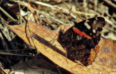 Heroic pose (TJ Gehling) Tags: insect lepidoptera butterfly nymphalidae admiral admiralbutterfly redadmiral vanessa vanessaatalanta shadow albanyhill albanyca