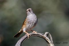 25012019-gDSC_8583 (Eyas Awad) Tags: passerascopaiola prunellamodularis eyasawad nikond800 nikond4 nikond500 sigma500f45 nikonafs300mmf4 tamron70200mmf28 nikkor200400mmf4 bird birds birdwatching wildlife nature