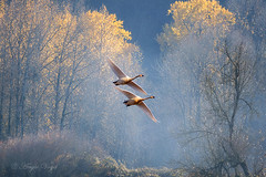Trumpeter Swan (Angie Vogel Nature Photography) Tags: swans trumpeterswans autumn trees goldenlight fog nature wildlife birdsinflight ridgefieldnationalwildliferefuge