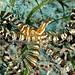 Wunderpus photogenicus, Romblon Island, Philippines