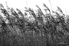 IMG_0672 Fall B&W (Cyberlens 40D) Tags: nj seasons fall autumn foliage trees scenery newjersey blackandwhite monochromephotography wildgrass wind bestcapturesaoi elitegalleryaoi