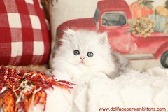 That Face!!!!! (dollfacepersiankittens.com) Tags: persian kittens teacup doll face