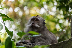 monkey (Greg M Rohan) Tags: naturereserve depthoffield dof blur habitat longtailedmonkey macacafascicularis bokeh asia indonesia bali forest leaves green monkey animal d750 nikkor nikon 2018 ubud
