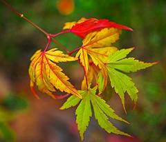 Still Autumn (L@nce) Tags: leaf leaves macro autumn nikon fall bokeh jamesbay victoria canada