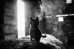 dust kitten (Jen MacNeill) Tags: black cat pet kitten animal farm barn cats bnw bw white littledoglaughednoiret