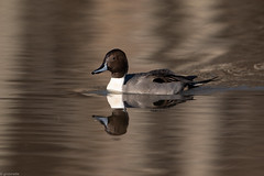 Northern Pintail (grobinette) Tags: northernpintail duck drake huntleymeadowspark huntleymeadows explored
