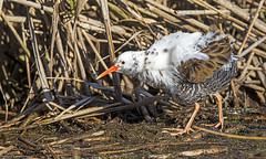 porciglione, leucistico,  albino ... waterrail leucistic .. (margit-luitpold2005) Tags: explore waterrail bird wildlife alnin leucistic water beak feathers wings reed